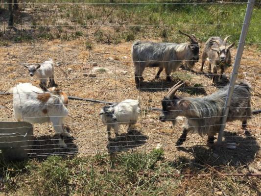 Romantische Naturstein Finca auf Mallorca Ziege