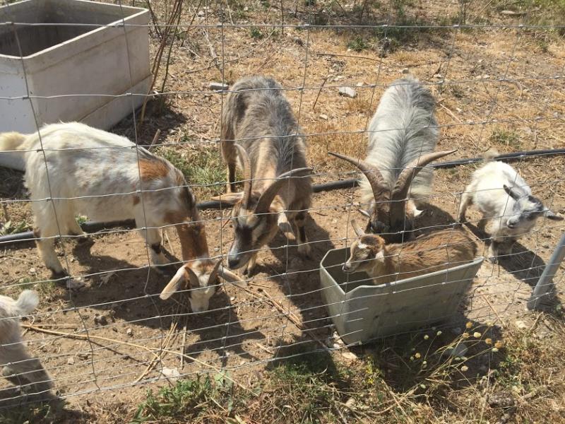 Romantische Naturstein Finca auf Mallorca 4 Ziegen