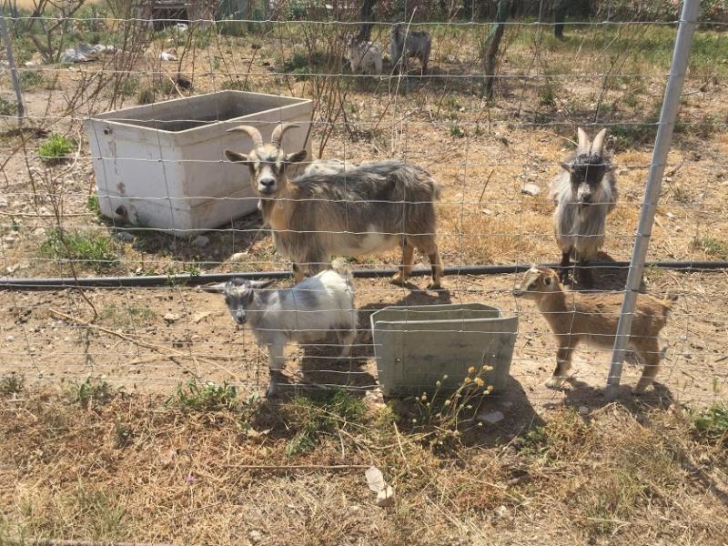Romantische Naturstein Finca auf Mallorca Ziegen essen