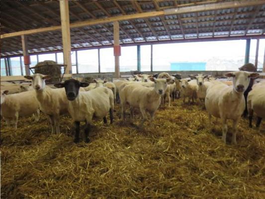 familienurlaub-bauernhof-Schafe (1)