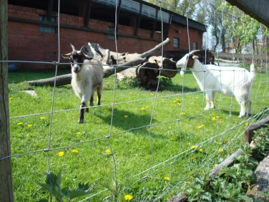 familienurlaub-bauernhof-Ziegen