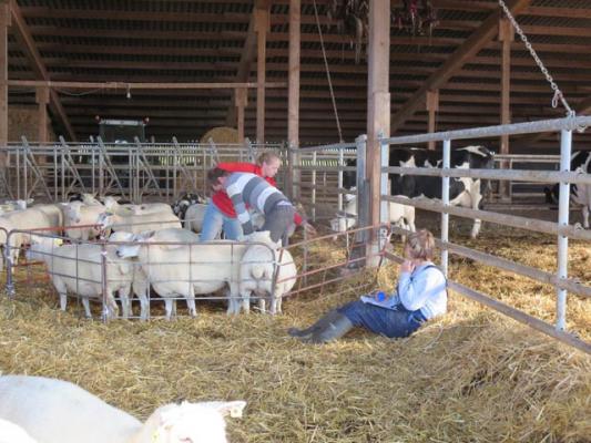 familienurlaub-bauernhof-Schafhaltung