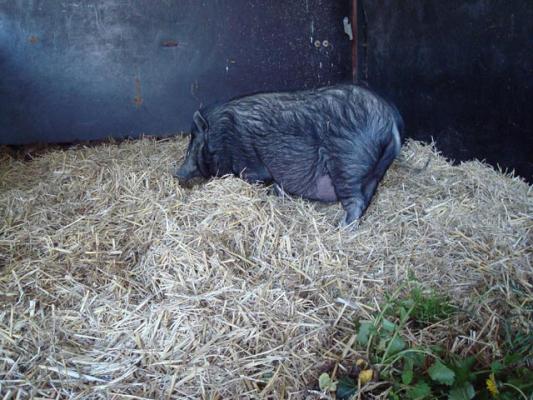 familienurlaub-bauernhof-Schwein